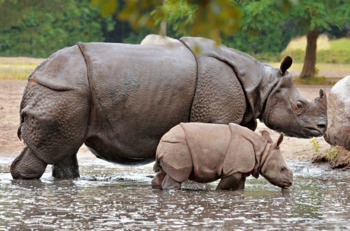 Размножение носорога индийского фото