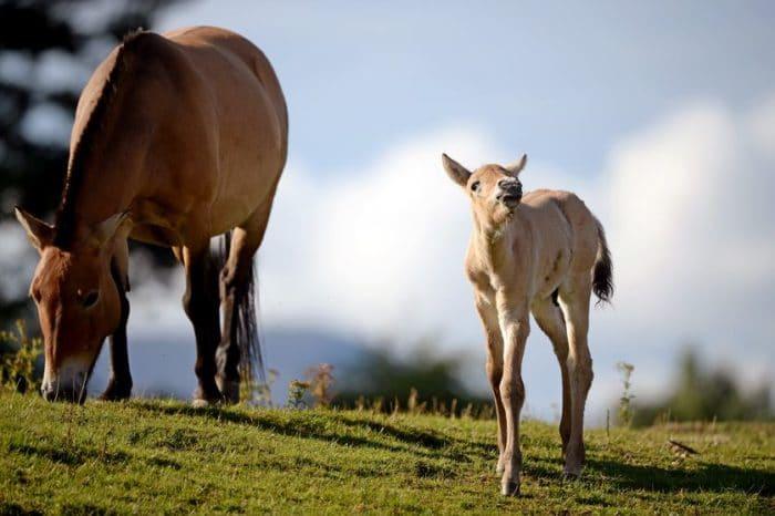 Размножение лошади Пржевальского фото