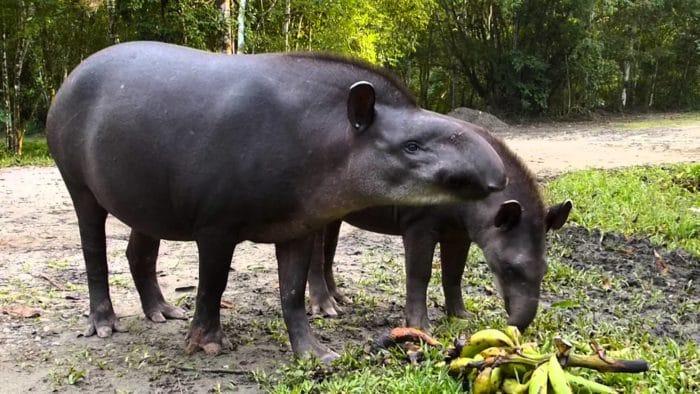 Самец и самка тапира горного: основные отличия фото