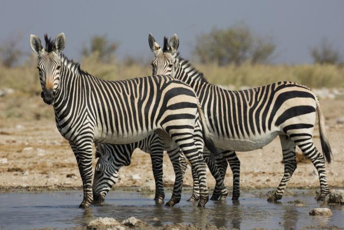 Самец и самка зебры горной: основные отличия фото