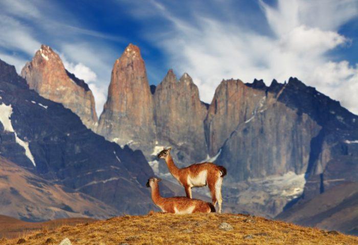 Самец и самка гуанако: основные отличия фото