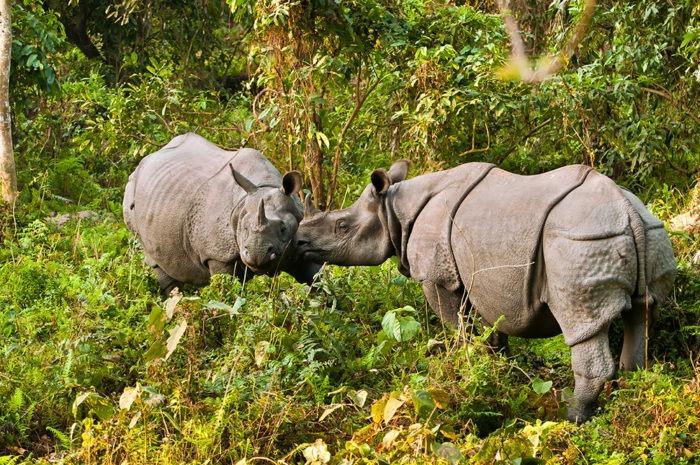 Самец и самка носорога индийского: основные отличия фото