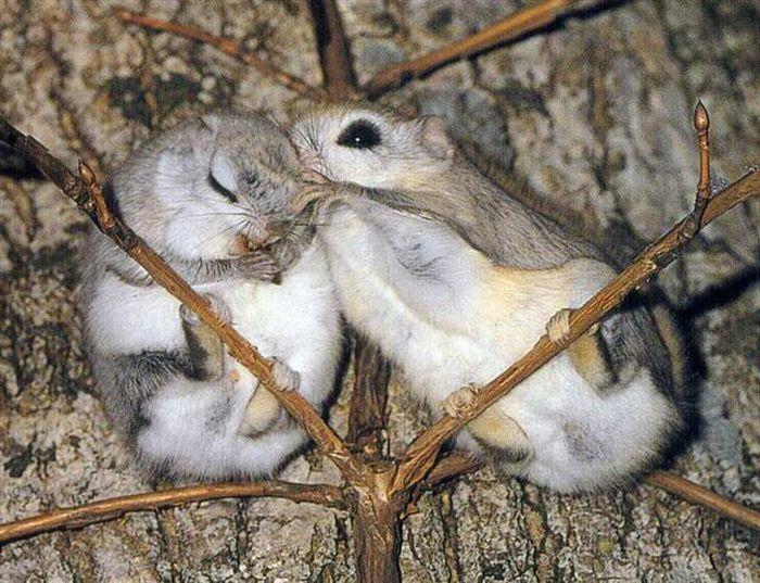 Самец и самка летяги: основные отличия фото