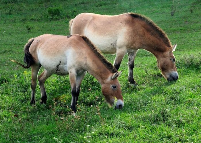 Самец и самка лошади Пржевальского: основные отличия фото