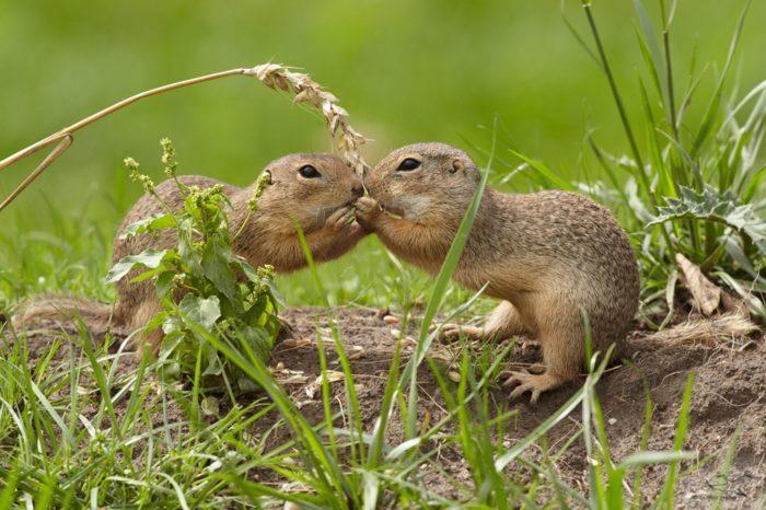 Самец и самка суслика: основные отличия фото