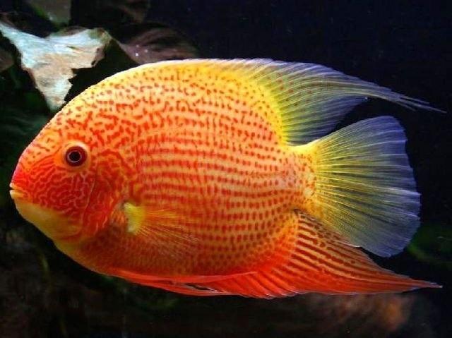 Северум красный жемчуг или красноточечный Red Pearl, Red Spot фото