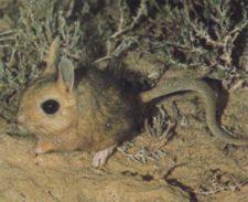 Толстохвостый тушканчик (Pygeretmus platyurus) фото