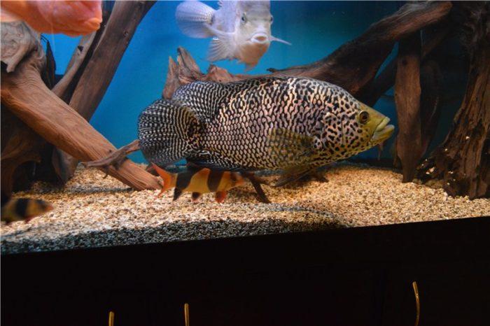 Требования к аквариуму для цихлазомы ягуар или манагуанской фото