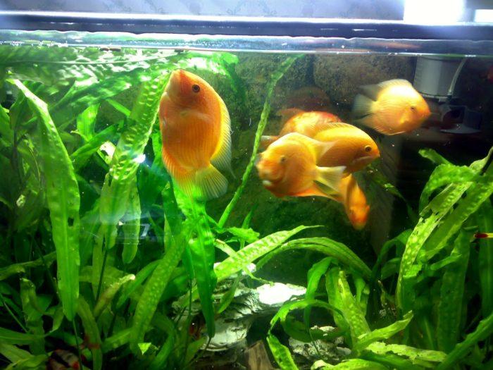 Требования к аквариуму для цихлазомы северум фото
