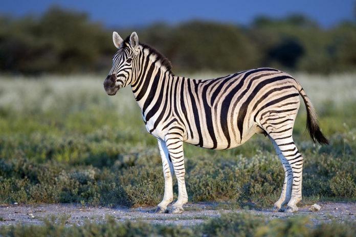 Горная зебра фото