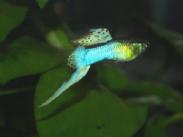 Гуппи Эндлера Японская голубая (Japan Blue - Endler's guppy Neon Blue)