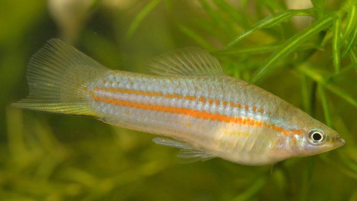 Меченосец Клеменсии (Xiphophorus clemenciae)