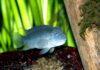 Львиноголовая цихлида фото