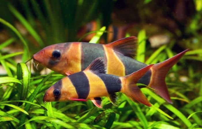 Требования боснии клоун к аквариуму