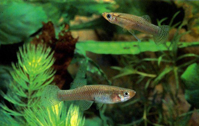 Требования гамбузии к аквариуму