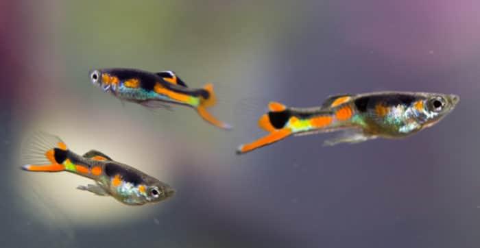 Требования гуппи Эндлера к аквариуму
