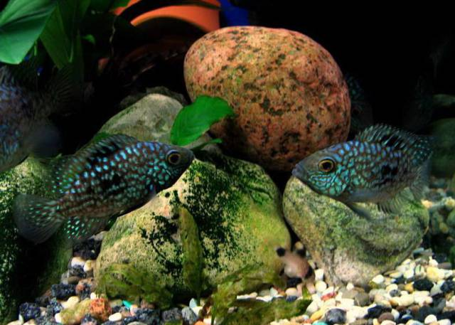 Требования цихлазомы бриллиантовой к аквариуму