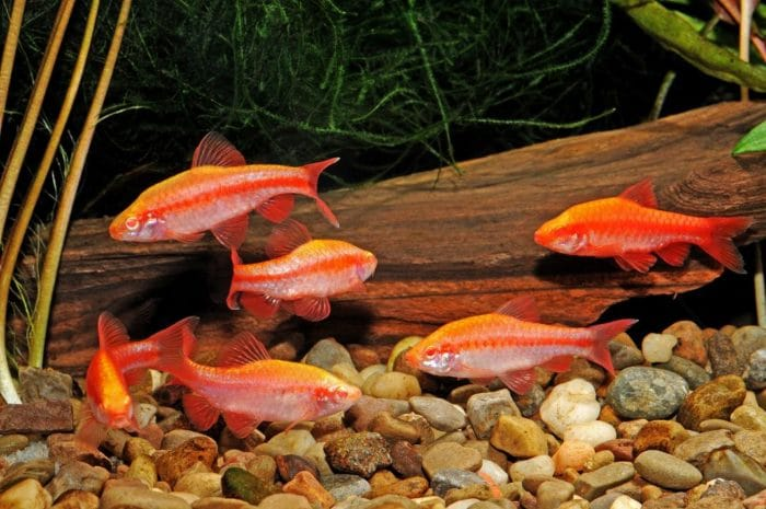 Tropical freshwater aquarium fish species