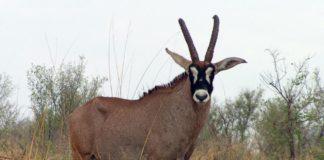 Антилопа лошадиная фото