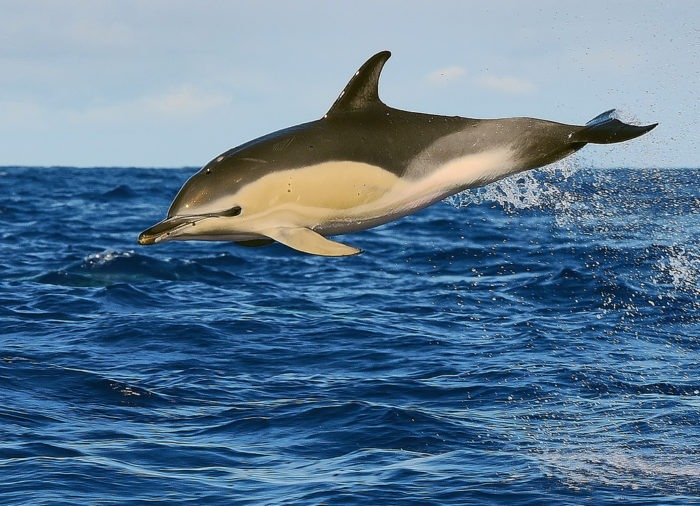 Обыкновенный дельфин (Delphinus delphis L.)