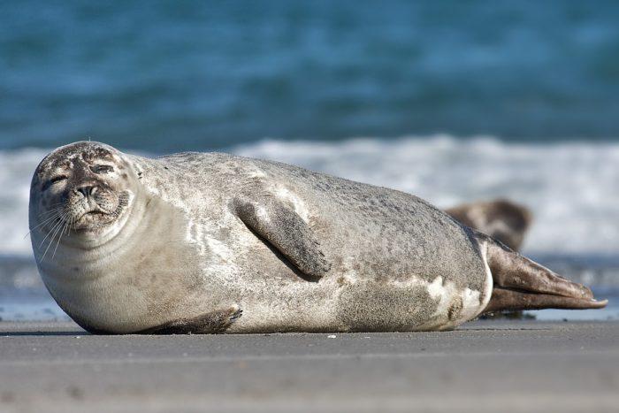 Тихоокеанский обыкновенный тюлень (Phoca vitulina richardsi)