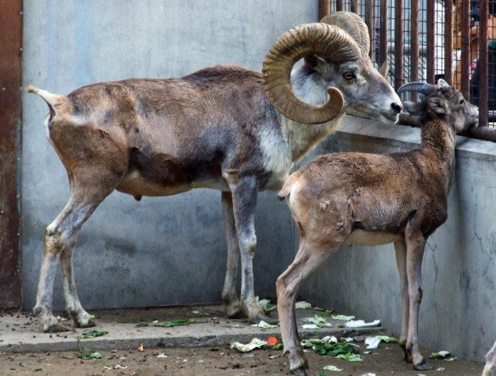Самец и самка алтайского барана: основные отличия