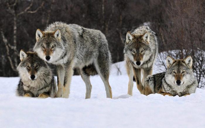 Естественные враги горного барана