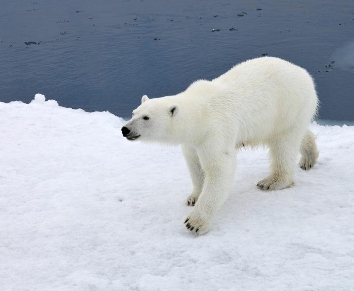 Естественные враги моржа