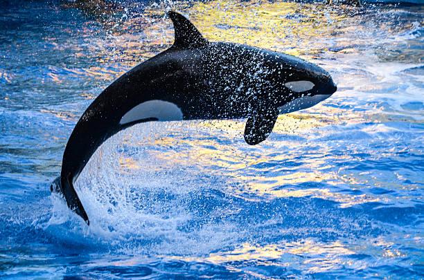 Естественные враги синего кита