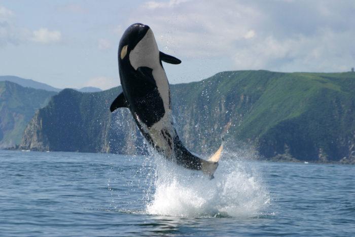 Естественные враги тюленя обыкновенного