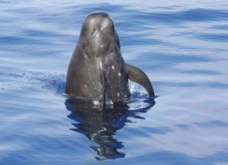 Гринда, круглоголовый кит фото