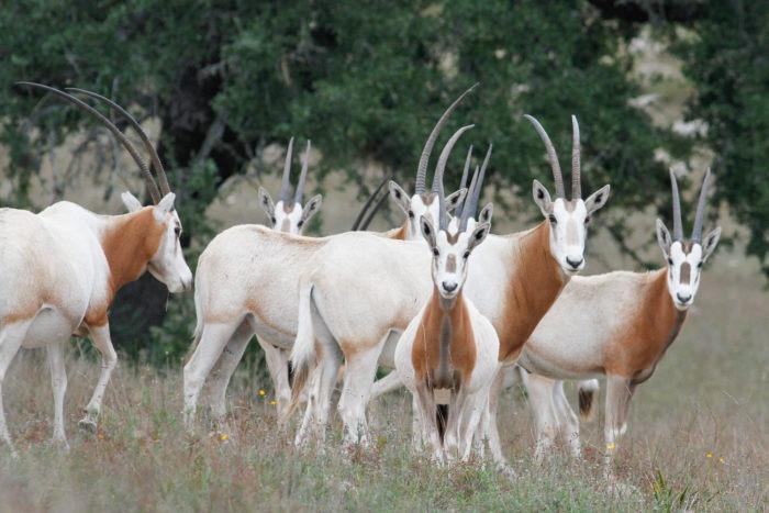 Интересные факты о саблерогой антилопе