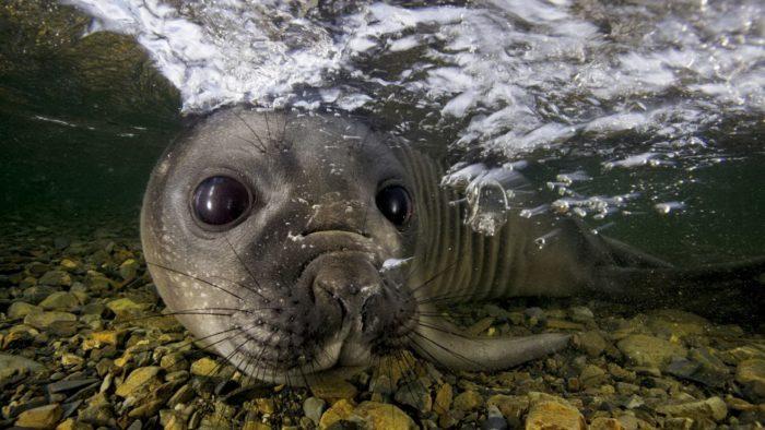 Интересные факты о тюлене обыкновенном