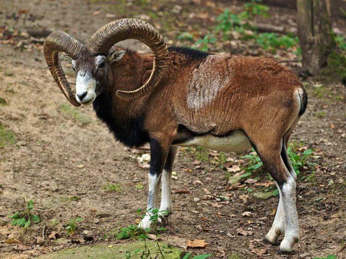 Кипрский горный баран