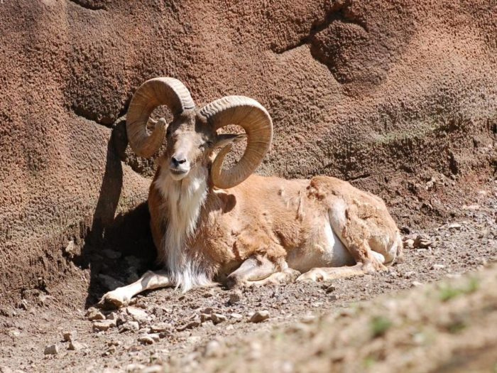 кызылкумский горный баран
