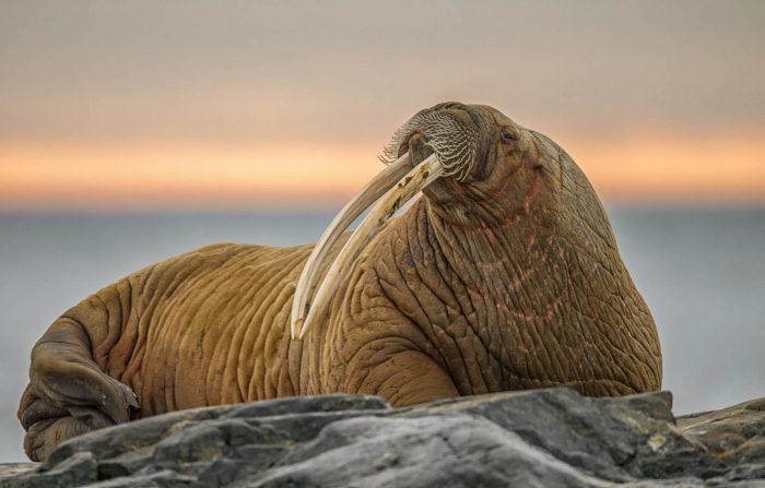 Моржи где живут чем питаются внешний вид животного