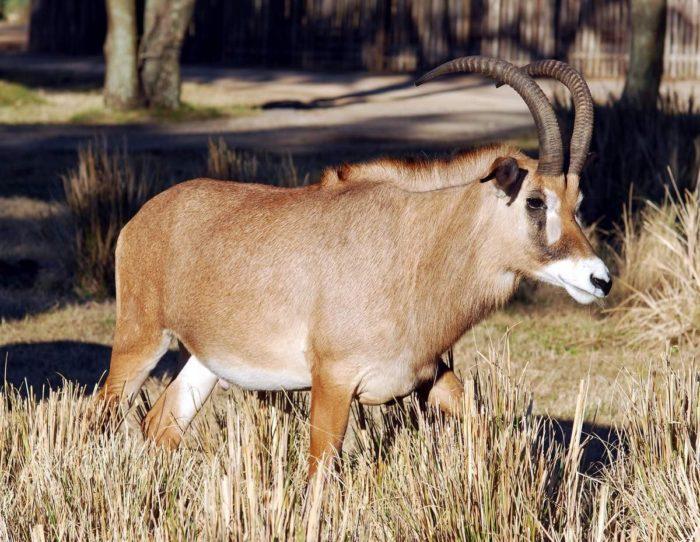 Описание лошадиной антилопы