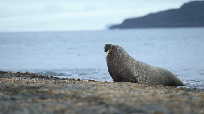 Описание моржа