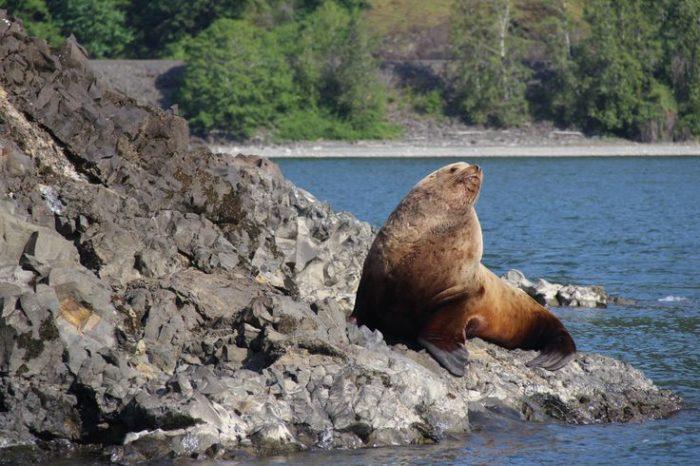 Описание северного морского льва