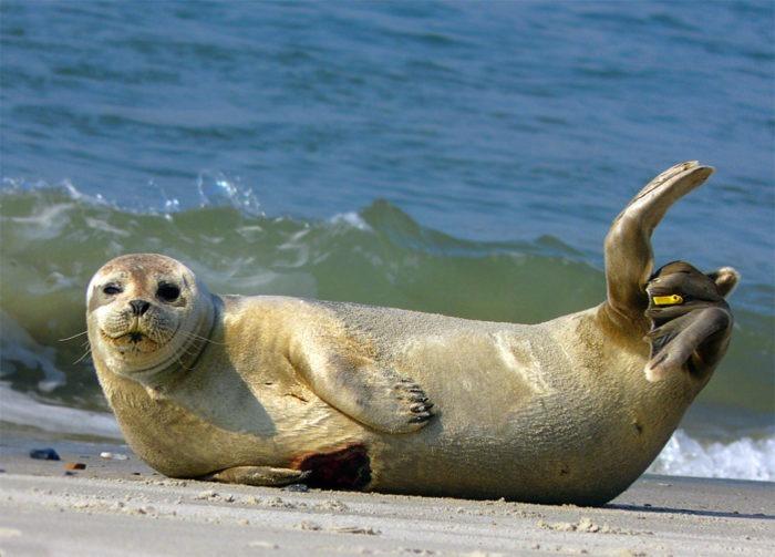 Описание тюленя обыкновенного