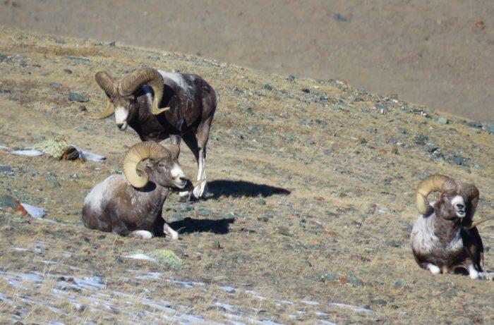 Особенности питания алтайского барана