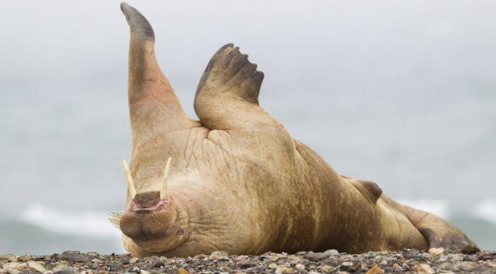 Особенности питания моржа