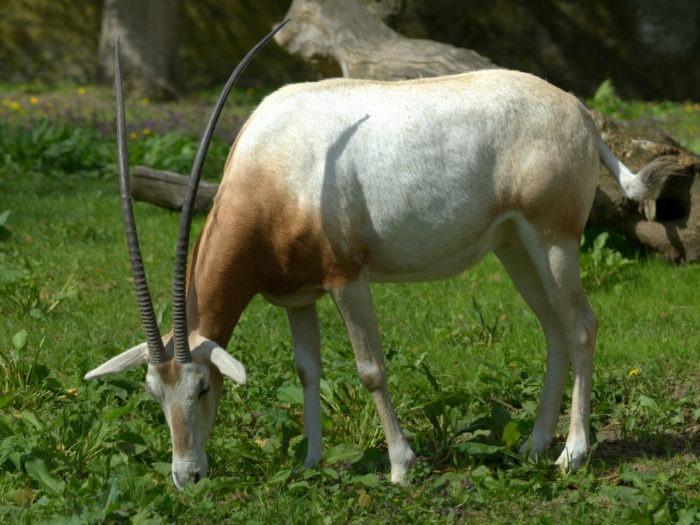 Особенности питания саблерогой антилопы