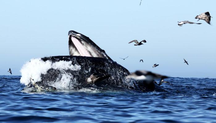 Особенности питания синего кита