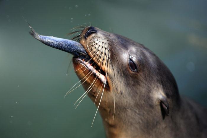 Особенности питания северного морского льва