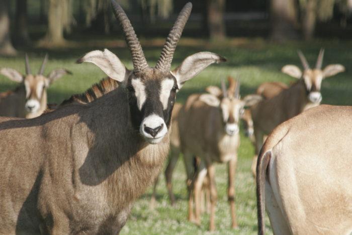 Поведение лошадиной антилопы
