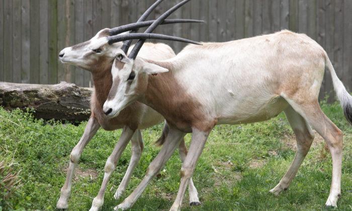 Поведение саблерогой антилопы