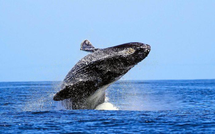 Поведение синего кита