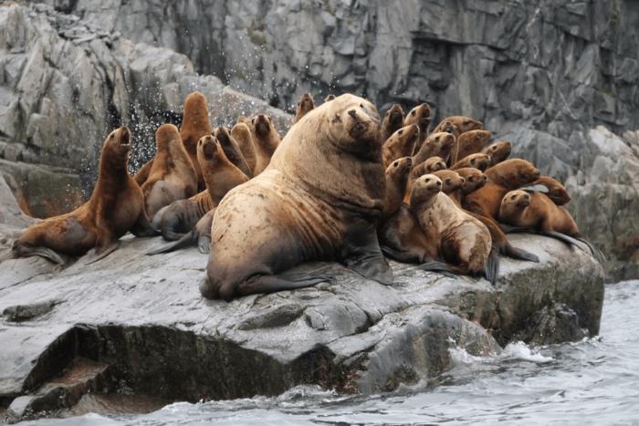 Поведение северного морского льва