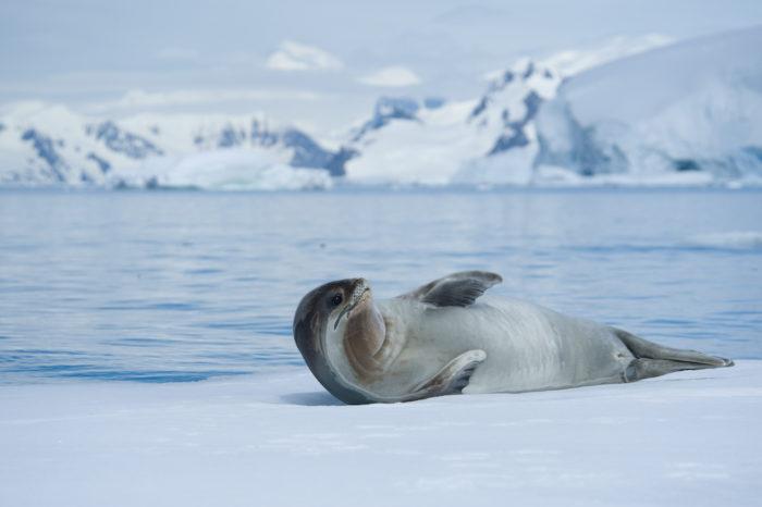 Поведение тюленя обыкновенного